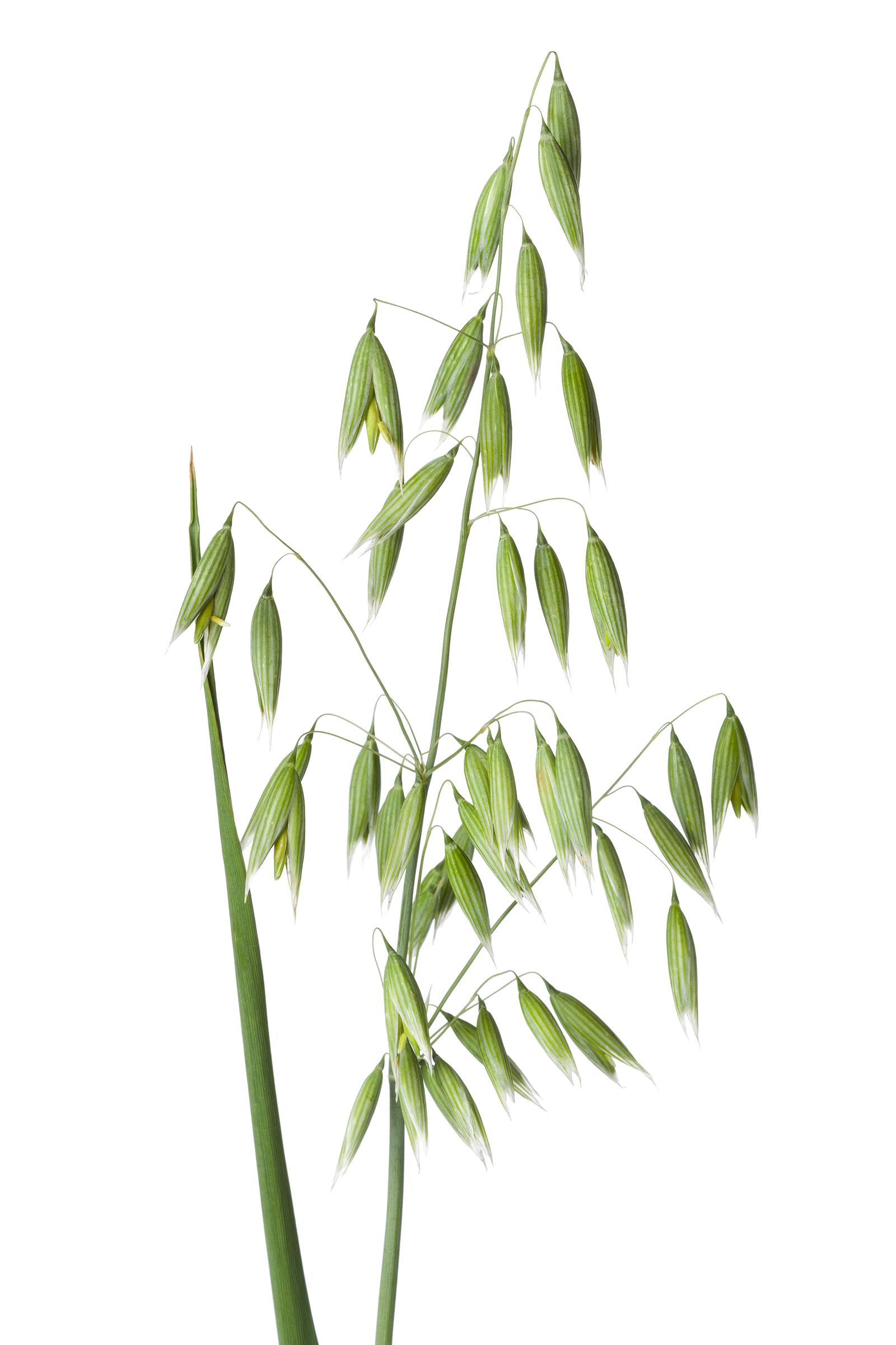 fresh-oat-plant-PQ4ZGYW_web